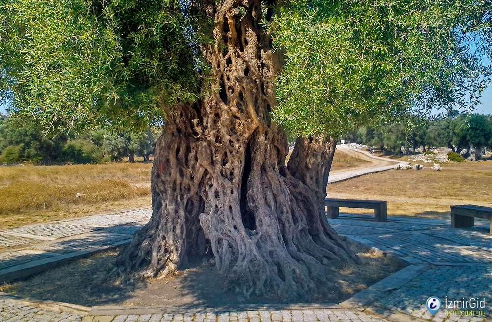 Старые оливковые деревья в Урле, Измир